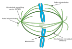 Difference Between Animal and Plant Mitosis