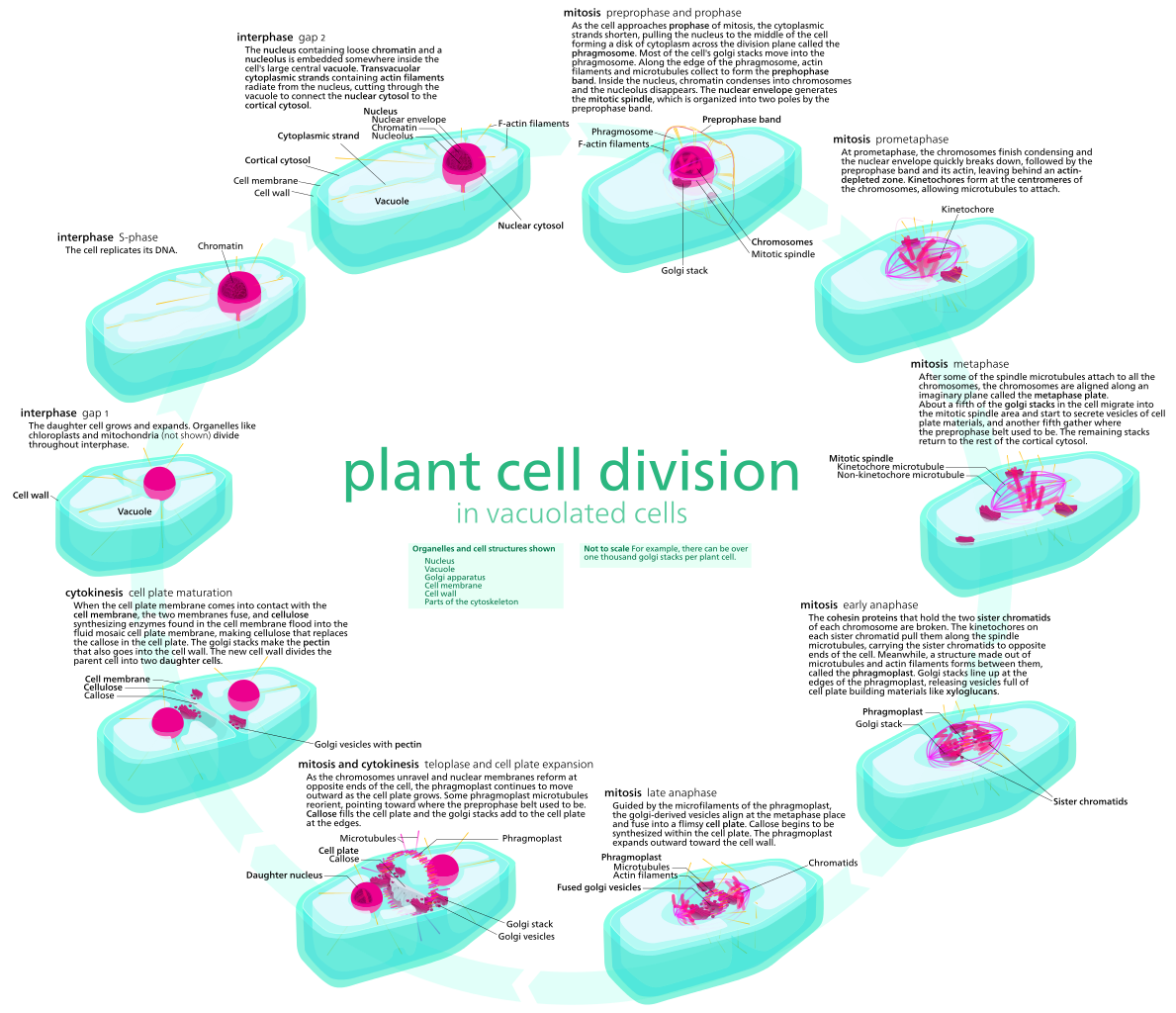 Main Difference - Animal vs Plant Mitosis