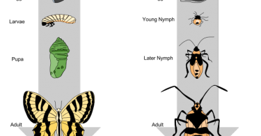 Difference Between Complete and Incomplete Metamorphosis