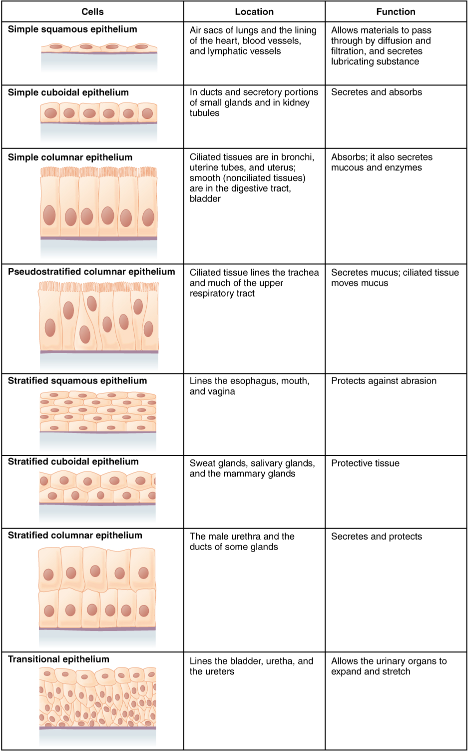 Main Difference - Epithelial vs Endothelial Cells