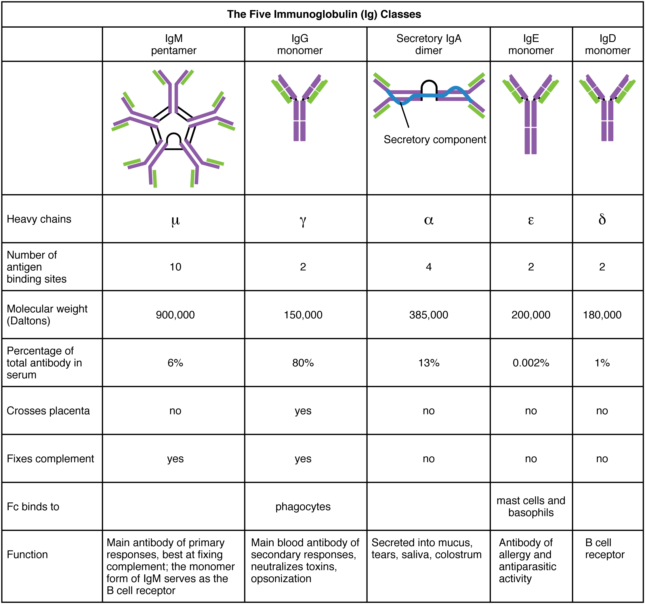 Difference Between Immunoglobulin And Antibody