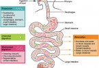 Difference Between Ingestion and Digestion - 3