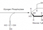 Difference Between Kinase and Phosphorylase