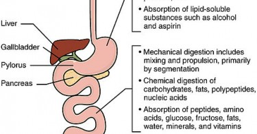 Difference Between Mechanical and Chemical Digestion