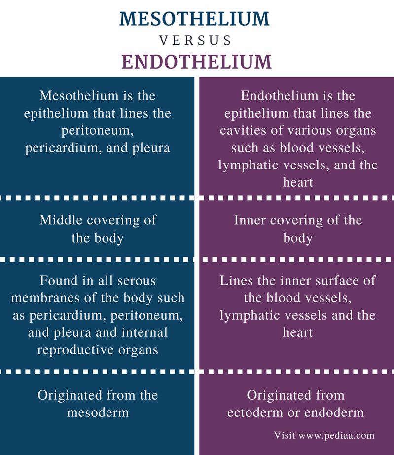 Difference Between Mesothelium and Endothelium - Comparison Summary