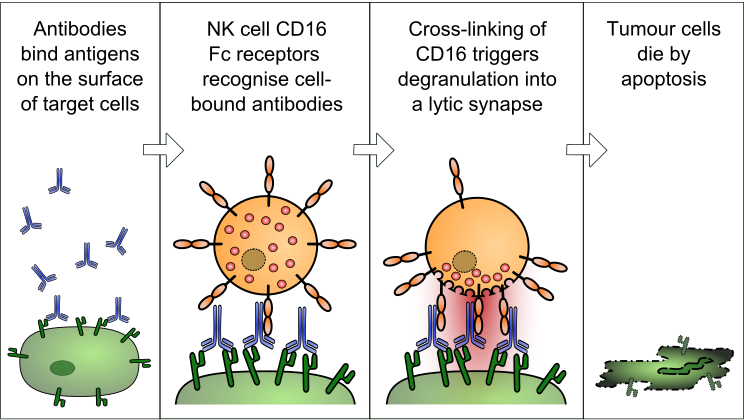 Difference Between NK Cells and NKT Cells