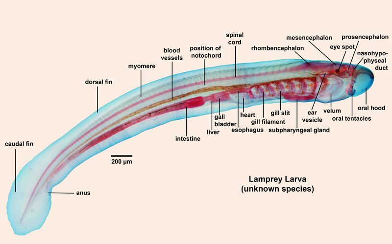 Difference Between Notochord and Nerve Cord