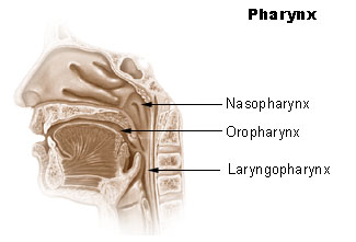 Difference Between Pharynx and Larynx
