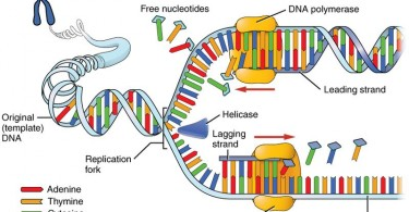 Difference Between Protein Synthesis and DNA Replication