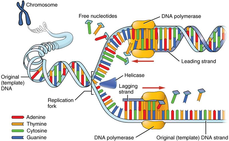 HOW DNA CONTROLS PROTEIN SYNTHESIS BY MEANS OF A BASE CODE