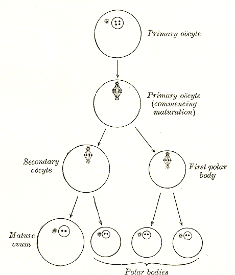 Difference Between Secondary Oocyte and Ovum