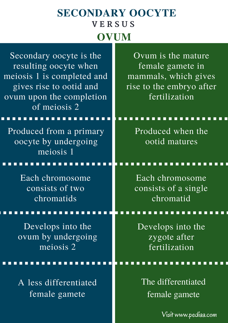 Difference Between Secondary Oocyte and Ovum - Comparison Summary