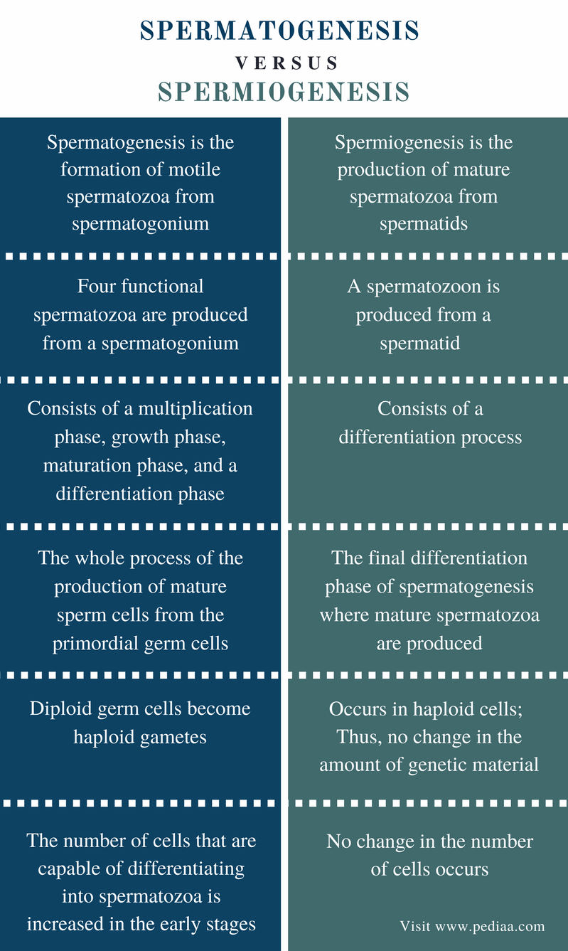 Difference Between Spermatogenesis and Spermiogenesis - Comparison Summary