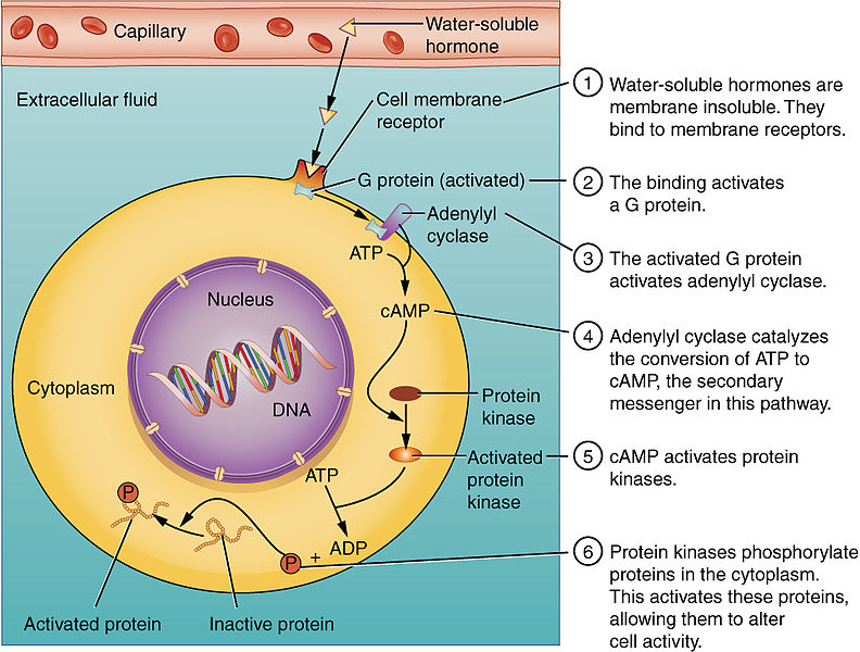 Difference Between Steroid and Peptide Hormones