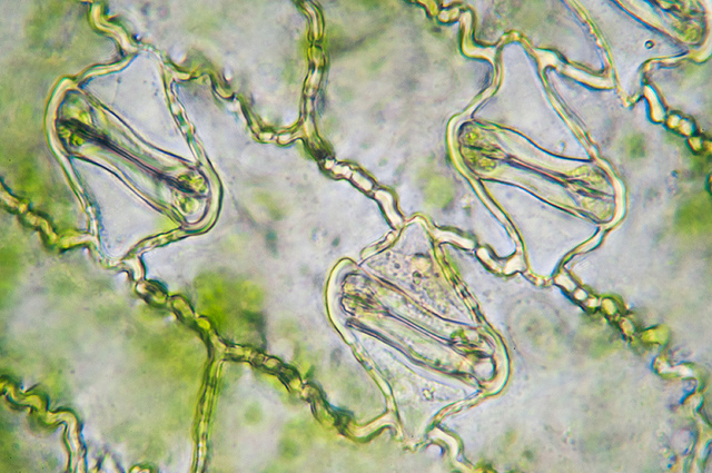 Difference Between Stomata of Monocot and Dicot Plants