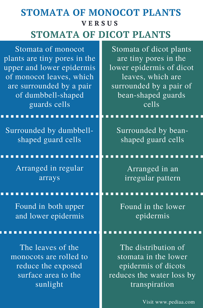 Difference Between Stomata of Monocot and Dicot Plants - Comparison Summary