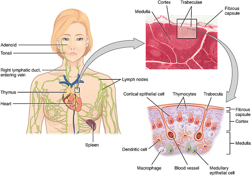 Difference Between Thymus and Thyroid