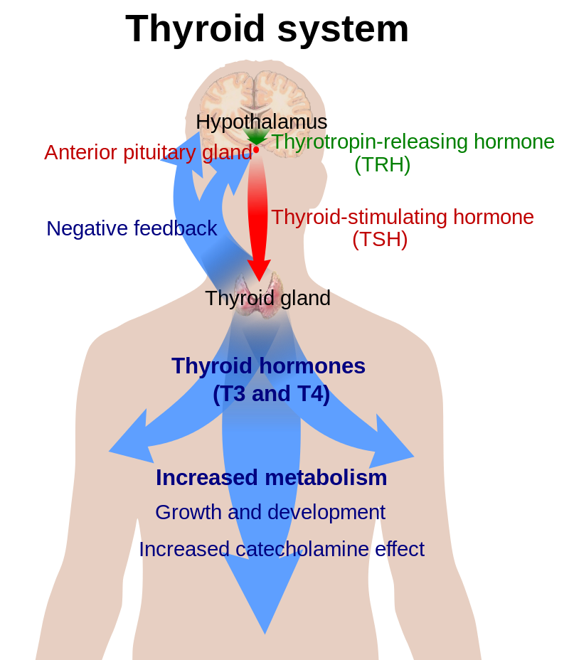 Main Difference - Thyroid vs Parathyroid