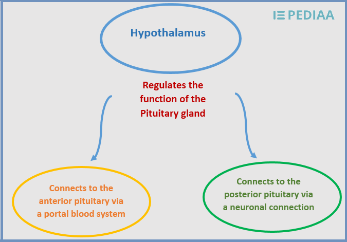 Relationship Between Hypothalamus and Pituitary Gland - Inforgraph