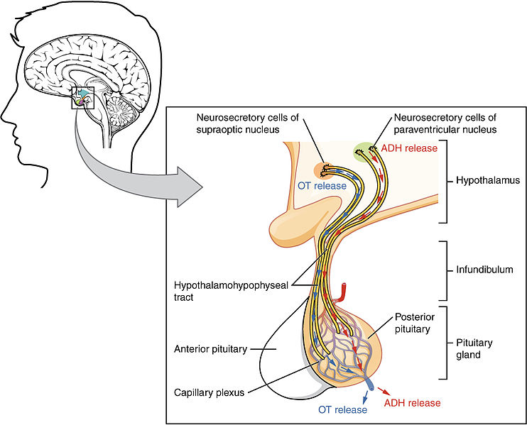 Relationship Between Hypothalamus and Pituitary Gland
