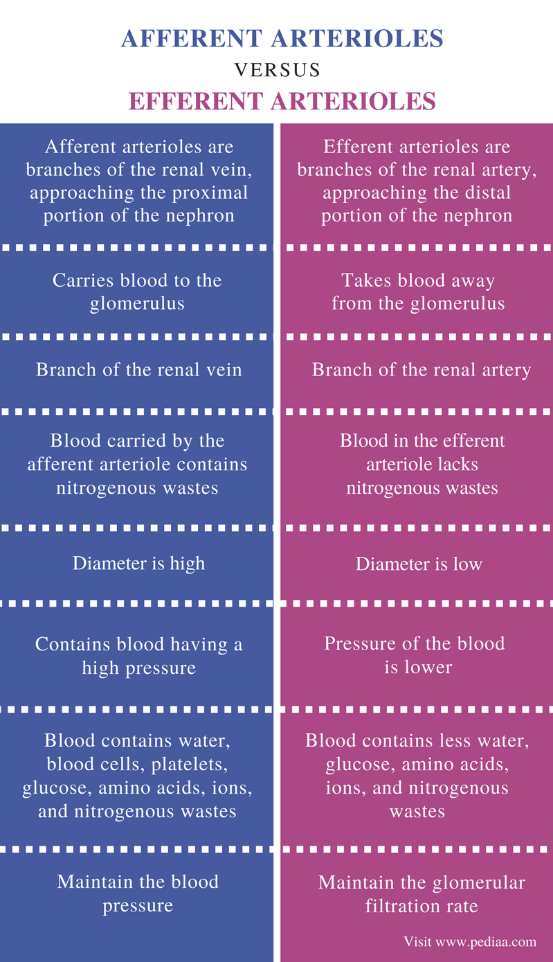 Difference Between Afferent and Efferent Arterioles - Comparison Summary