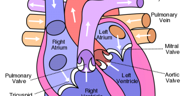 Difference Between Atrium and Auricle
