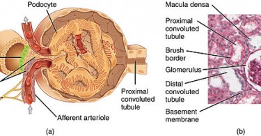 Main Difference - Bowman's Capsule vs Glomerulus