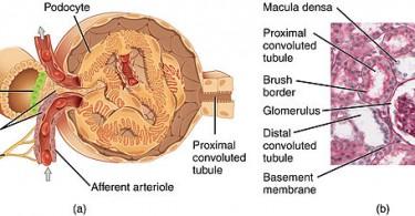 Main Difference - Bowman's Capsule vs Glomerulus