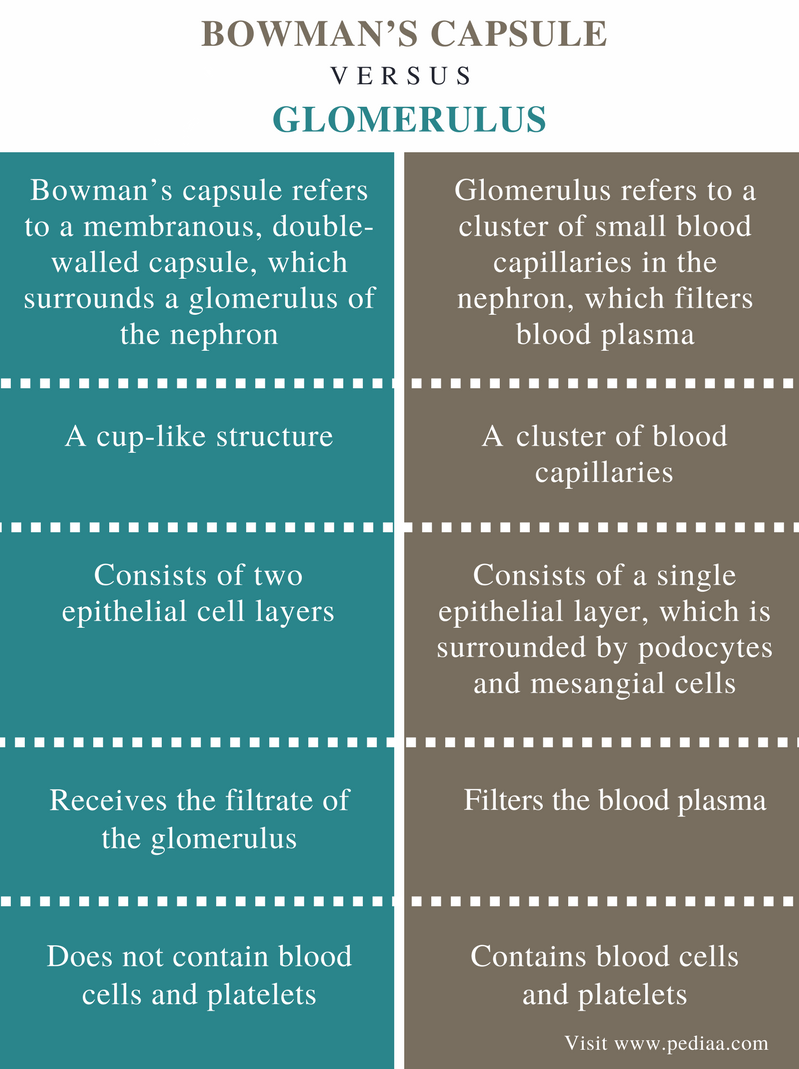 Difference Between Bowman's Capsule and Glomerulus - Comparison Summary