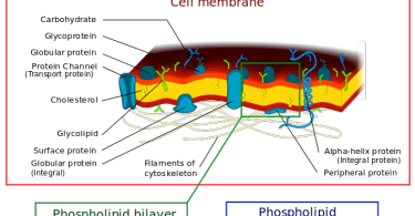 Difference Between Cell Membrane and Plasma Membrane