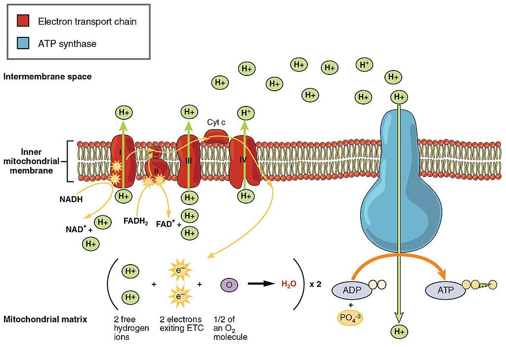 Main Difference - Cell Membrane vs Plasma Membrane