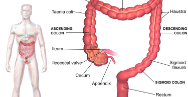 Difference Between Colon and Large Intestine