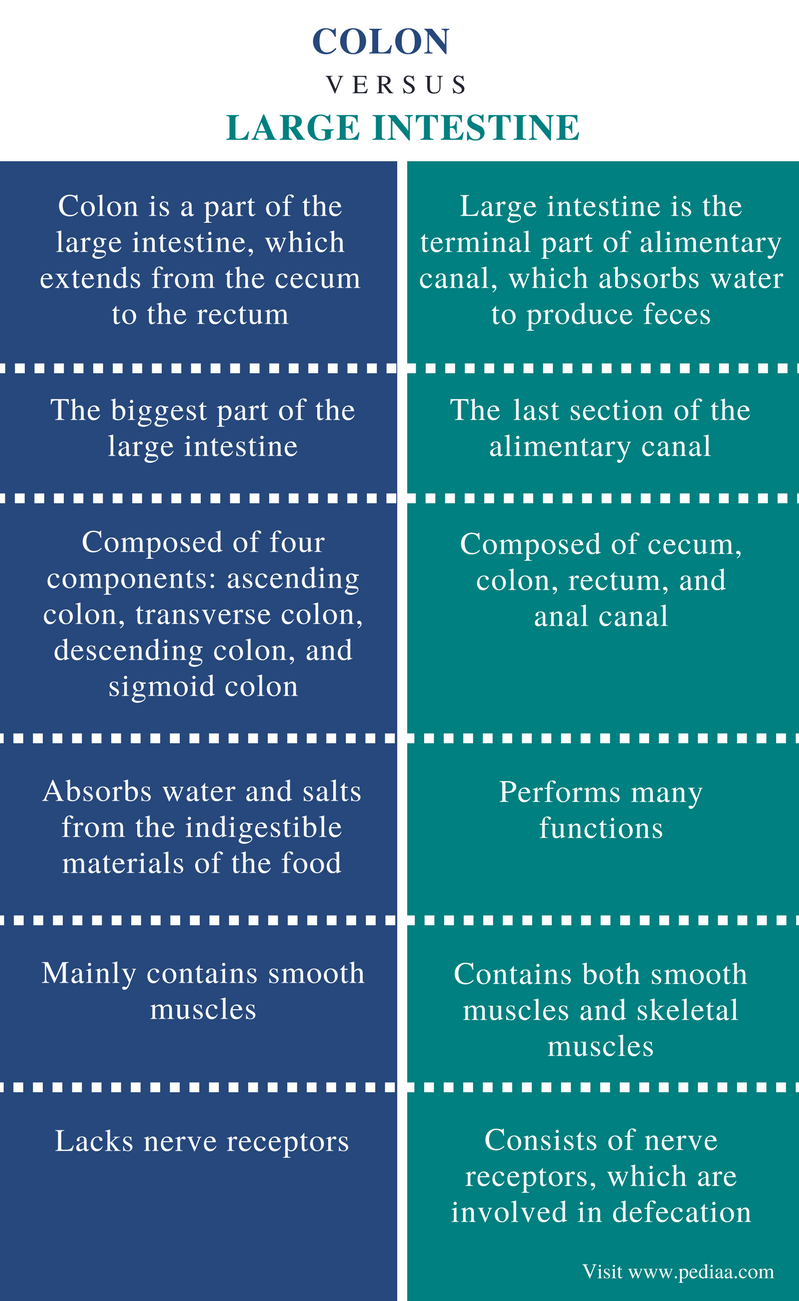Difference Between Colon and Large Intestine - Comparison Summary