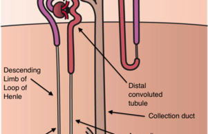 Difference Between Cortical Nephron and Juxtamedullary Nephron