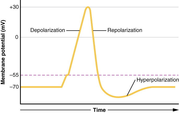 Main Difference -  Depolarization vs  Hyperpolarization