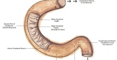 Difference Between Duodenum and Jejunum