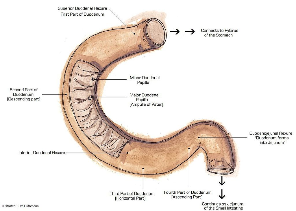 Difference Between Duodenum And Jejunum Definition Anatomy Function