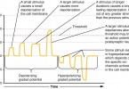 Difference Between Graded Potential and Action Potential