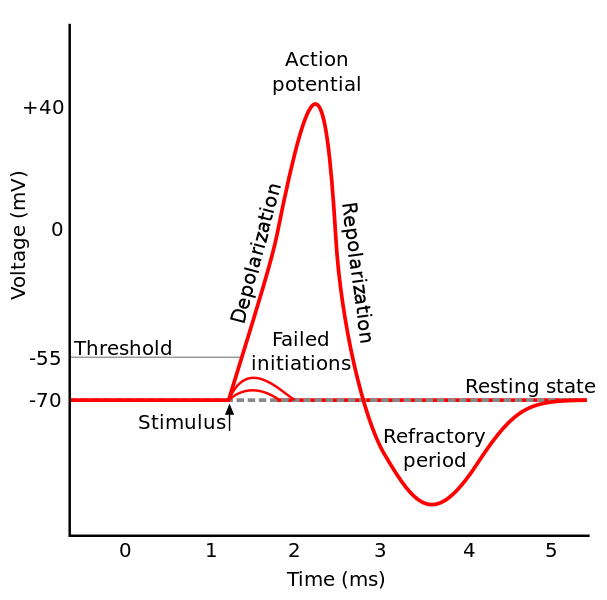 Main Difference -  Graded Potential vs Action Potential