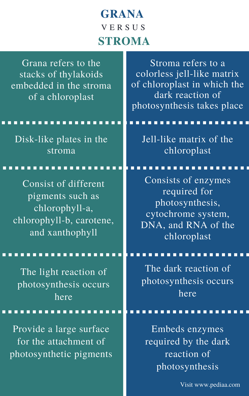 Difference Between Grana and Stroma - Comparison Summary