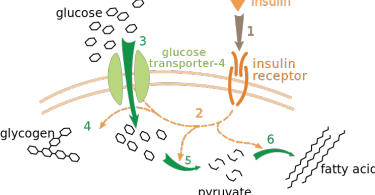 Difference Between Insulin and Glucagon
