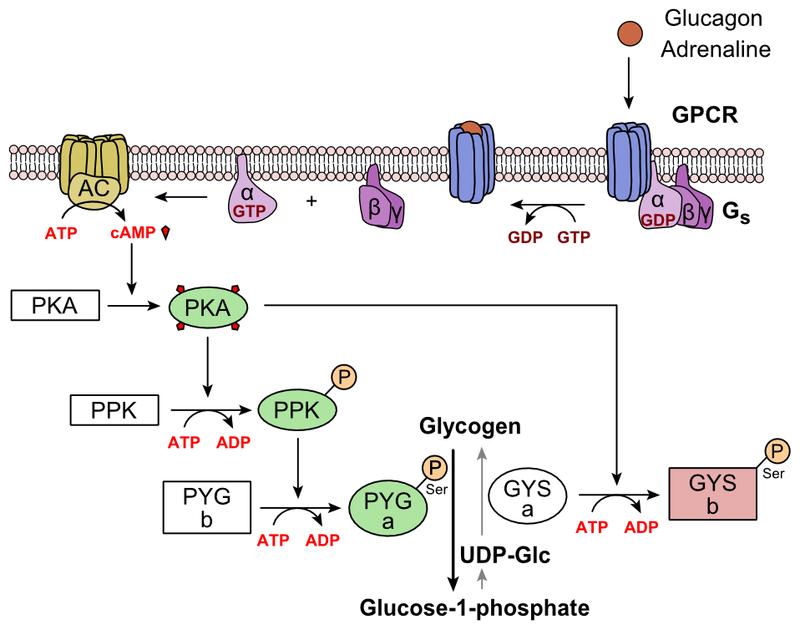 Main Difference - Insulin vs Glucagon