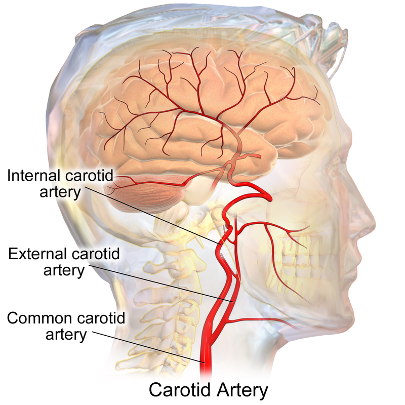 Difference Between Jugular Vein And Carotid Artery Definition
