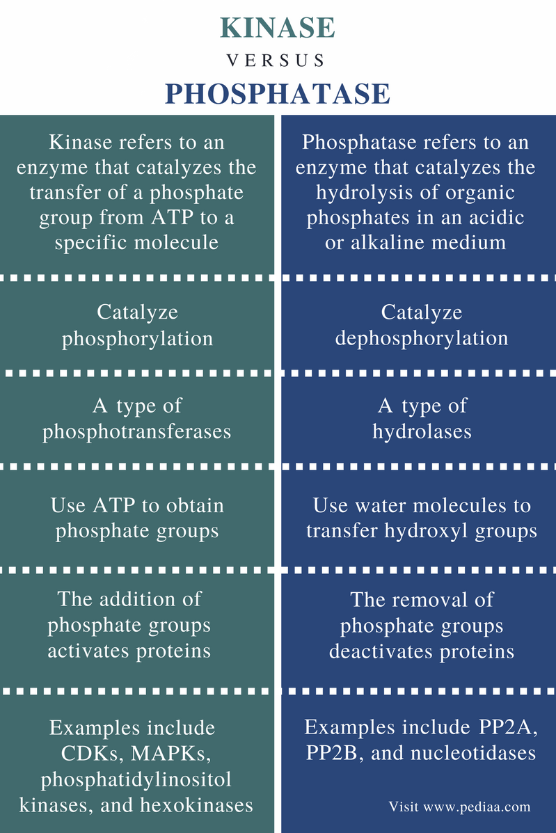 Difference Between Kinase and Phosphatas - Comparison Summary