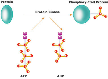 Difference Between Kinase and Phosphatase