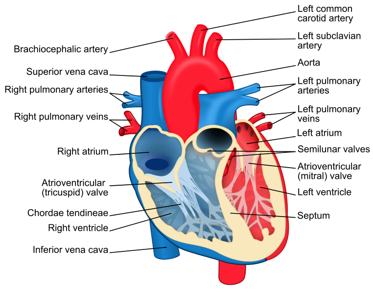 Difference Between Left And Right Ventricle Definition Anatomy