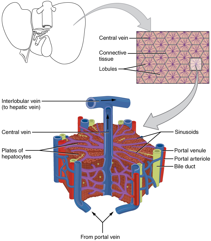 Difference Between Liver And Kidney Definition Anatomy Physiology