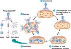 Difference Between Lytic Cycle and Lysogenic Cycle