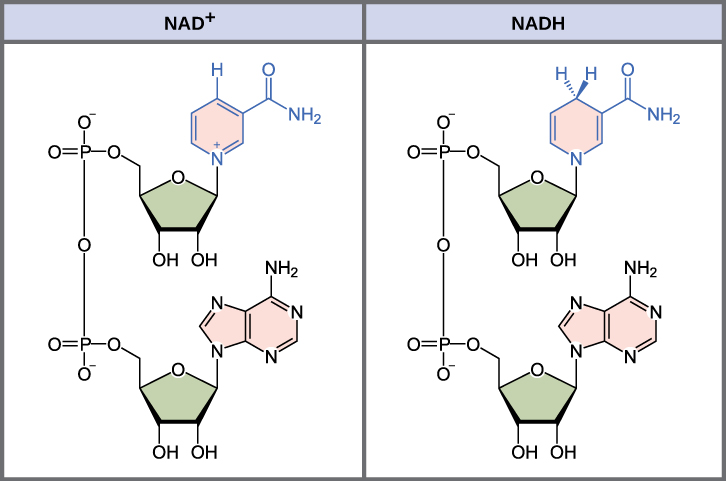 Difference Between NAD and NADP