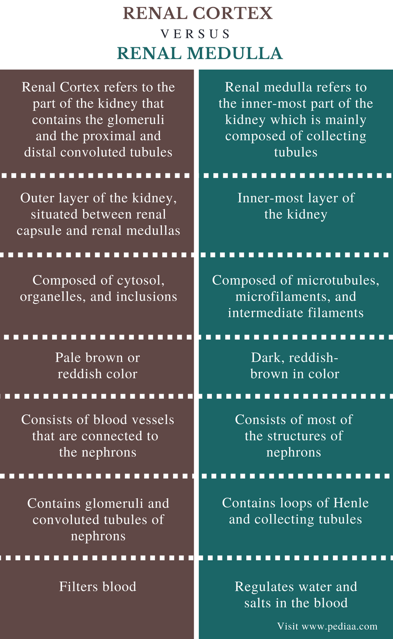 Difference Between Renal Cortex And Renal Medulla Definition